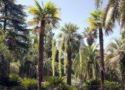 В Сочи зацвела пальма Эритея вооруженная