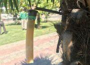 Сочинским пальмам сделали инъекции против насекомых-вредителей