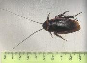В квартирах сочинцев завелись 9-сантиметровые американские тараканы