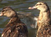 «Постфактум»: а утки уже летят высоко!