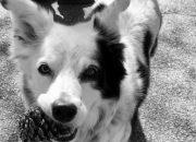 Умерла самая умная собака в мире