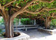 В Сочи предложили посадить дерево-клон библейской смоковницы