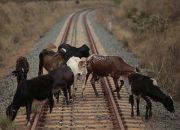 Поезд Томск — Анапа сбил 14 коров