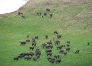 В Кавказском заповеднике популяция зубра составляет около 1 тыс. 150 особей
