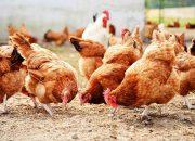 На Кубани пресекли реализацию 500 кг небезопасной животноводческой продукции
