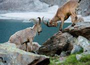 В Кавказском заповеднике насчитали более 3,5 тыс. туров и серн