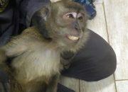 В Новороссийске спасатели поймали сбежавшую от хозяина обезьяну