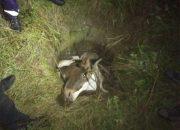 На Кубани в заброшенный колодец упала корова, животное достали спасатели