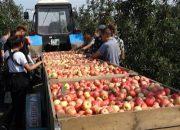 В Ленинградском районе школьникам предложили заработать на сборе яблок