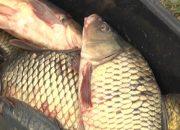 В водоемах Кубани появится больше судака и толстолобика
