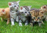 В Китае могут поступить в продажу клонированные котята