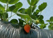 В Кореновске фермер выращивает клубнику в мешках