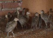 В Тимашевском районе на волю выпустили 150 фазанов