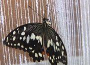 В Белореченске женщина дома открыла питомник для бабочек