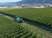 На заводе «Шато де Талю» в Геленджике приступили к производству вина