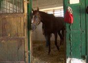 В Новокубанском районе на конезаводе вырастили более 170 лошадей