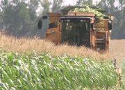 В Тимашевском районе соберут кукурузу с полей площадью 900 га