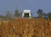 В Новокубанском районе аграрии первыми в России начали выращивать киноа