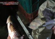 В Славянском районе задержали браконьеров, перевозивших почти 600 кг пиленгаса