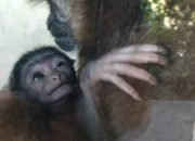 В «Сафари-парке» Геленджика родился чернорукий гиббон