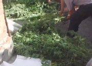 Житель Отрадненского района вырастил на своем участке 137 кустов конопли