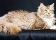 Короткие лапы и овечья шерсть: десять необычных пород кошек