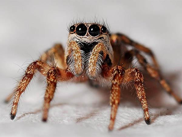 агрессивные пауки