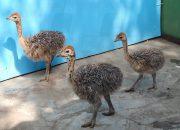 В Новороссийске ученые проводят над страусами эксперименты по изучению сна
