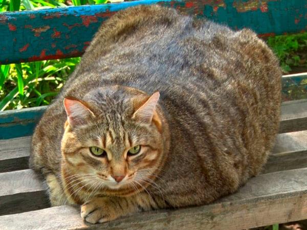 Самый толстый кот в России. Видео
