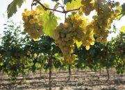 На Кубани переработали более 70 тыс. тонн винограда