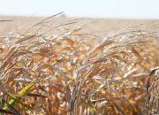 На Кубани с начала года застраховали 75,5 тыс. га сельхозземель