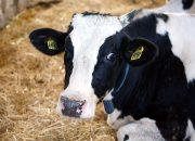 В Сочи восьмилетнего мальчика боднула корова
