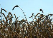 Аграрии Кубани заготовили 677 тыс. тонн озимых пшеницы и ячменя