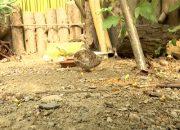 В дендрарии Сочи вылупились три птенца китайского перепела