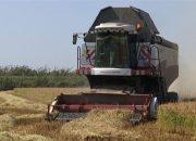 Как в Красноармейском районе идет уборка риса