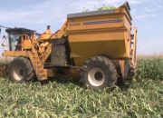 На Кубани приступили к уборке кукурузы на зерно