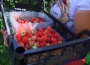 В Лабинском районе аграрии начали сбор малины