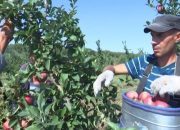 На предприятии в Ейском районе планируют собрать около 8 тыс. тонн яблок