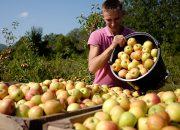 На Кубани собрали 101 тыс. тонн яблок