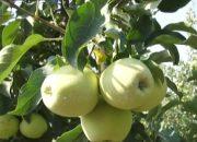 В Белореченском районе дал урожай новый яблоневый сад на 40 га