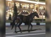 На Красной Поляне лошадь по трассе шла к «Казино Сочи». Видео