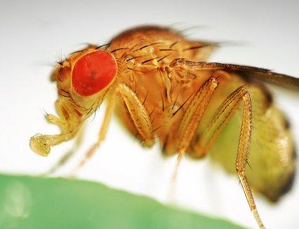 мухи, помогут победить старость