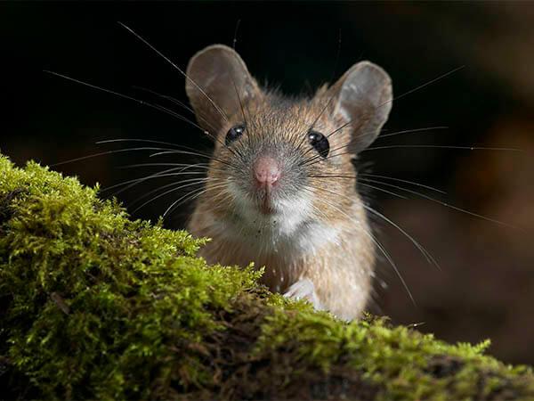 Сибирские ученые создали вирус, избавляющий мышей от депрессии