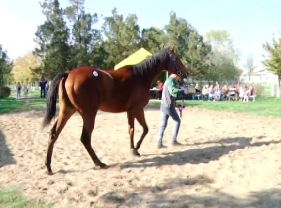 В Новокубанском районе в аукционе конного завода участвовал 10-летний мальчик