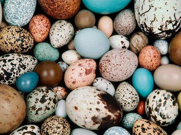 Почему птицы откладывают разноцветные яйца?