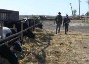 В Брюховецком районе фермер получил грант в 30 млн рублей на животноводство