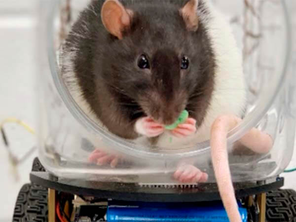 Даже крыса сможет: грызунов научили водить автомобили