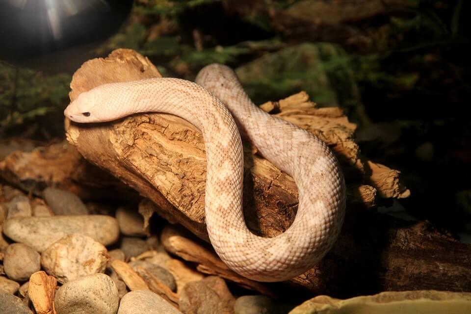 змея, домашнее животное