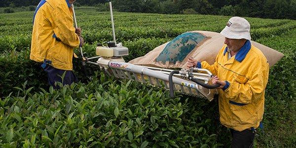 Краснодарский край в этом году на 17% увеличил сбор чайного листа