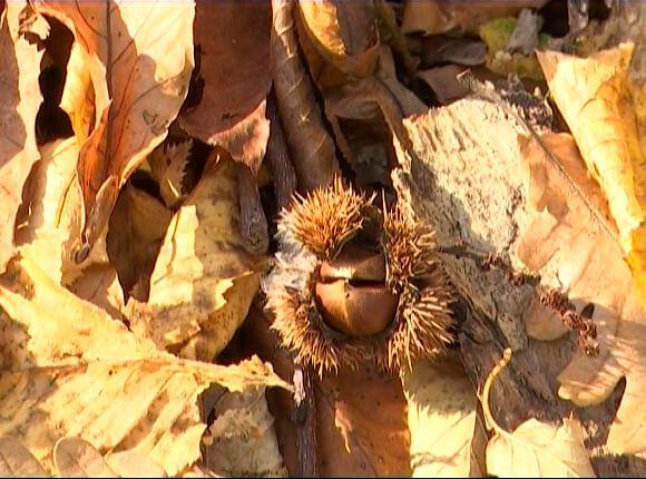 В Сочи более половины каштанников погибли от опасного грибка
